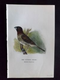 C. W. Gedney 1888 Antique Hand Col Bird Print. Nutmeg Finch